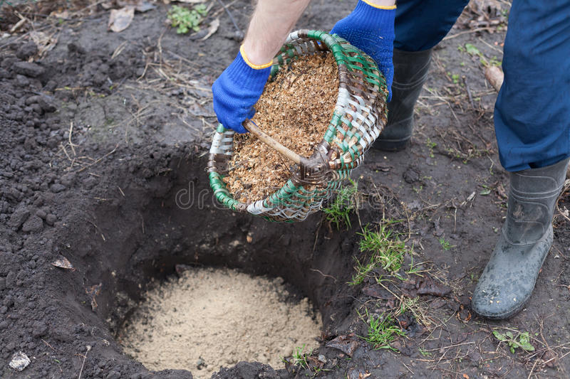Gardener planting a blueberry bush fertilizes the soil with sawdust. Put sawdust into the ground for fertilizer. stock images