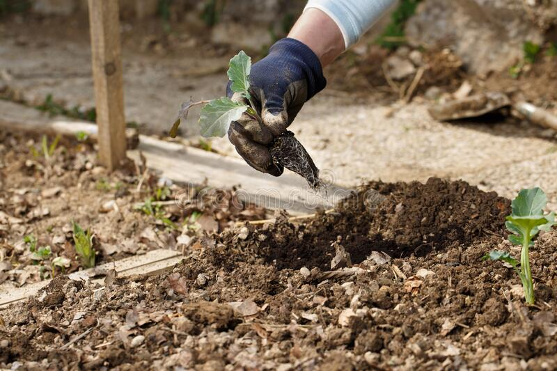 Gardener planting broccoli seedlings in freshly ploughed garden beds royalty free stock photo