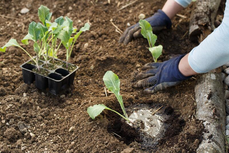 Gardener planting cauliflower seedlings in freshly ploughed garden beds royalty free stock images