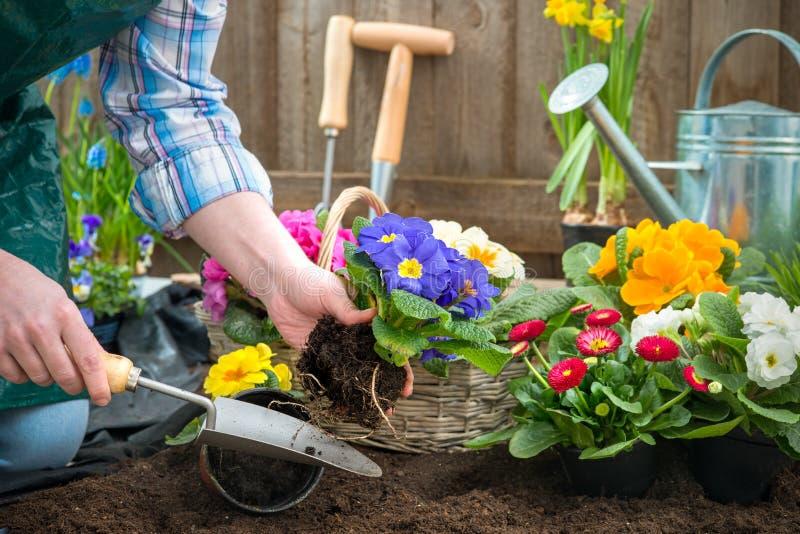 Gardener planting flowers royalty free stock photography