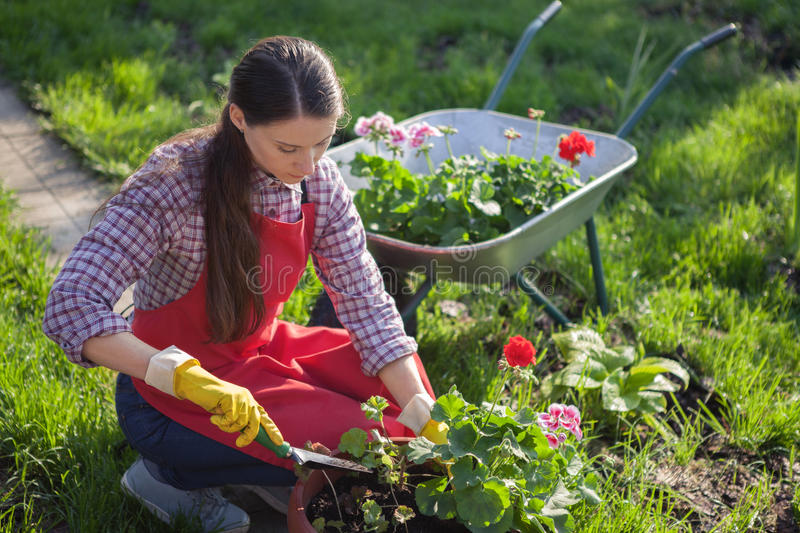 Gardener planting flowers in pot. Young woman planting flowers in pot with dirt or soil. Gardening stock image