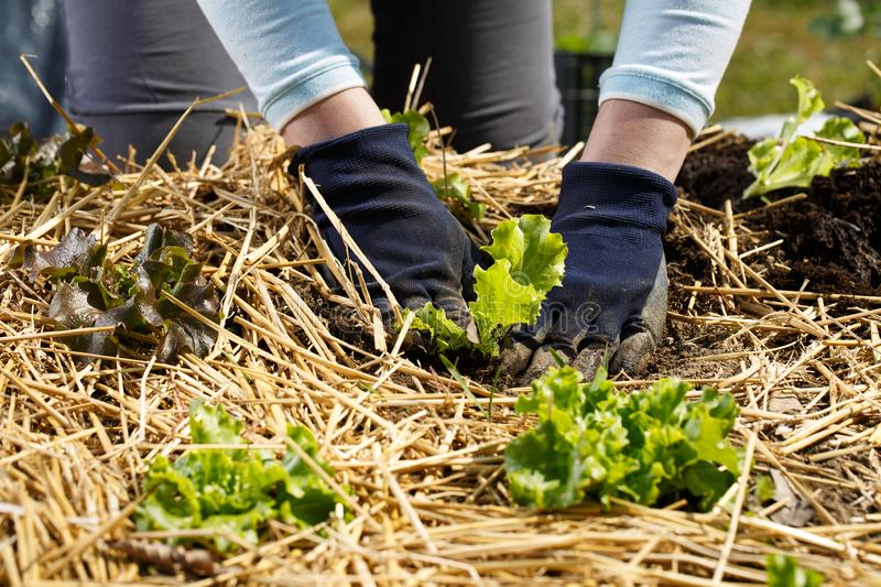 Gardener planting lettuce seedlings in freshly ploughed and straw mulched garden beds royalty free stock image