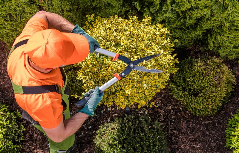 Gardener Plants Shaping Work. Caucasian Garden Worker with Large Scissors Trimming Decorative Trees stock images