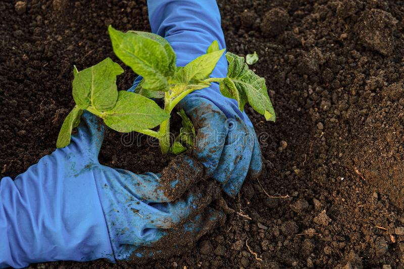 Gardener plants tomato seedlings in open ground royalty free stock image