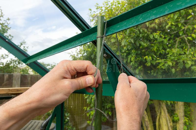 Gardener preparing greenhouse for plants. Close up of a gardener tying a support cane in a greenhouse royalty free stock images