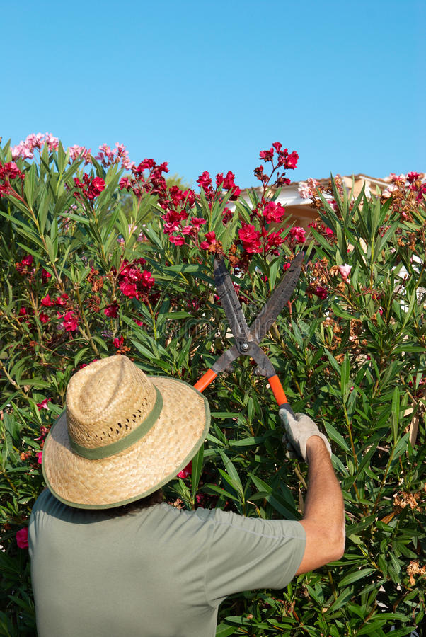 Gardener pruning. A flowering oleander hedge with pruning shears royalty free stock image