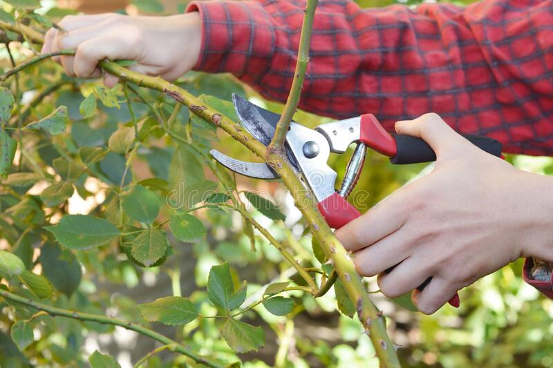 A Gardener Is Pruning A Climbing Rose With Pruning Shears Stock