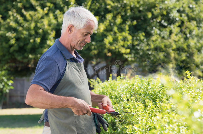 Gardener pruning hedge. Senior man gardener cutting hedge. Portrait of a retired man pruning an hedge. Mature gardener cutting bush royalty free stock photography