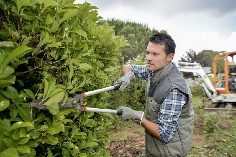 Gardener pruning hedge with shears stock images