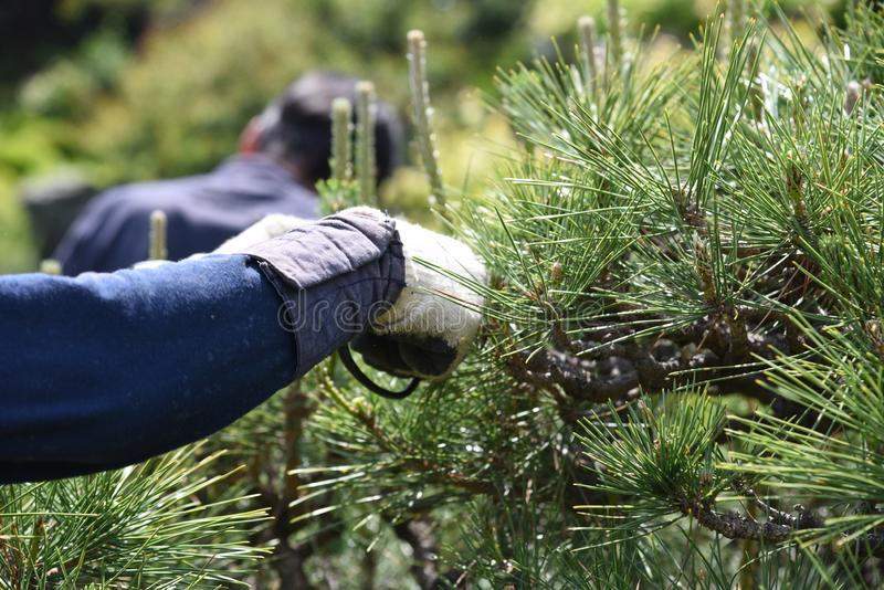 Pruning of a pine tree stock image