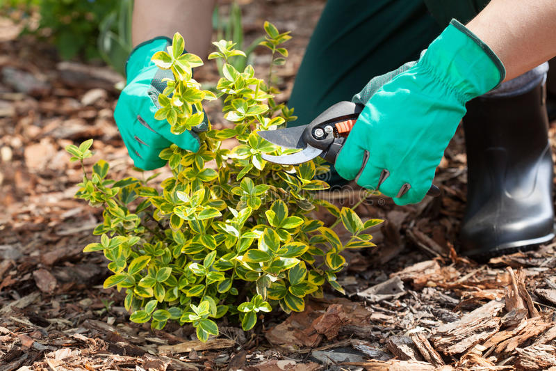 Gardener pruning a plant. Close up of gardener's hands pruning a plant stock images