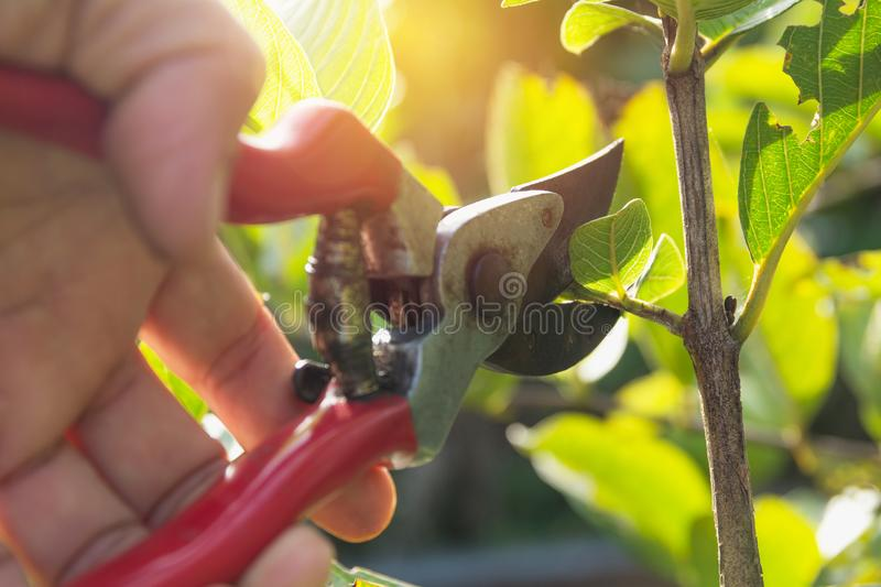 Gardener pruning trees with pruning shears on nature background.  stock image