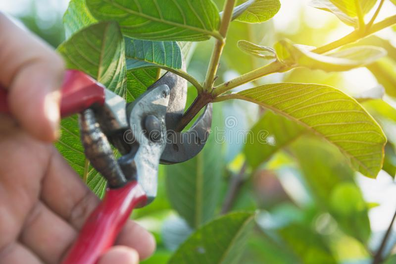 Gardener pruning trees with pruning shears on nature background.  stock photo