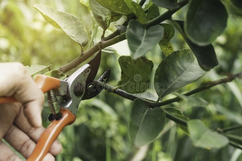 Gardener pruning trees with pruning shears on nature background.  stock photography
