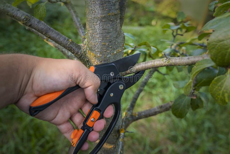 Gardener pruns the fruit trees by pruner shears. Farmer hand with garden secateurs on natural green background.  stock photo