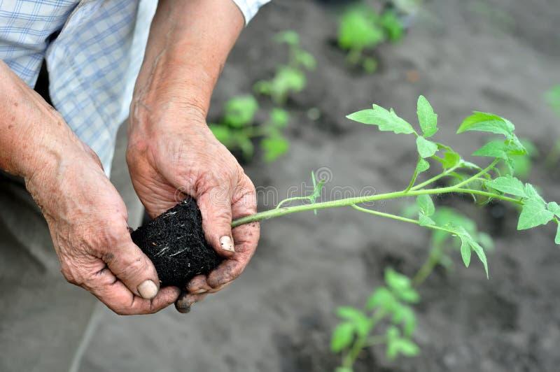 Gardener`s hands holding a tomato seedling. Before the planting in the vegetable garden stock photo