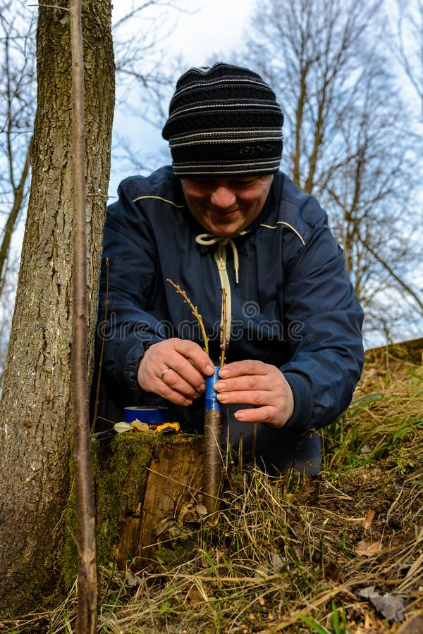 A gardener`s woman clogs a cut-off part of the grafted tree to prevent rotting at this place in close-up. royalty free stock photo