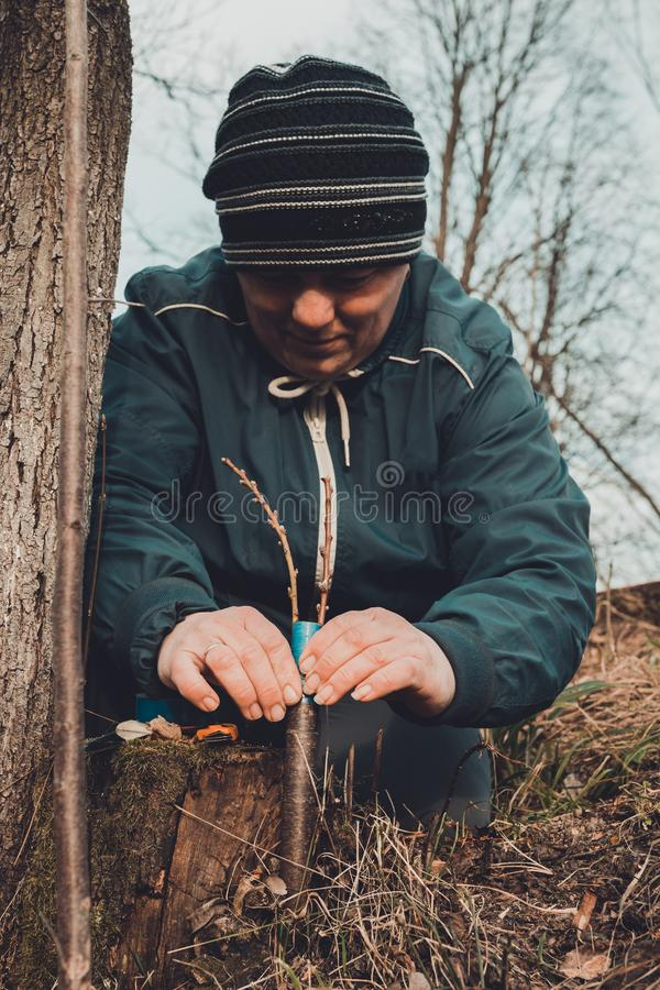 A gardener`s woman clogs a cut-off part of the grafted tree to prevent rotting at this place in close-up. stock images