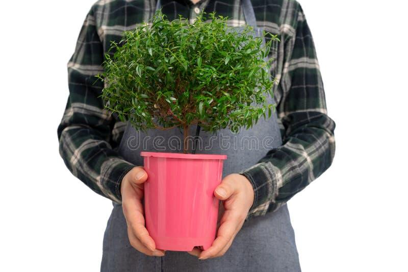 Gardener segurando uma mirtilha sobre o fundo isolado imagens de stock