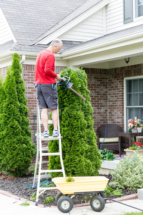 Gardener trimming an Arborvitae or Thuja tree. Gardener standing on a stepladder in front of a house trimming an Arborvitae or Thuja tree with a hedge trimmer or royalty free stock photography