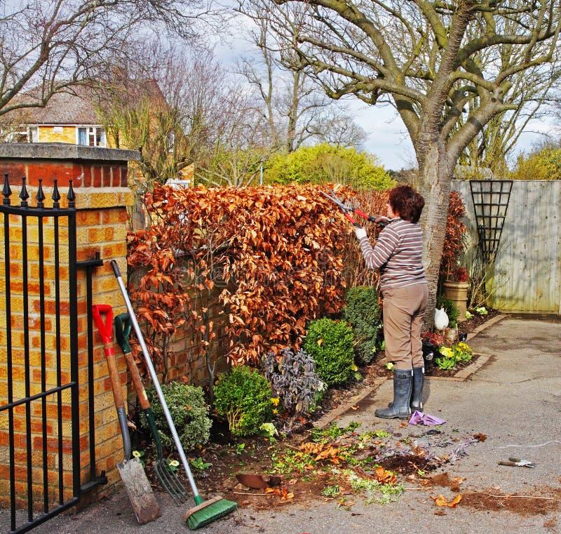 Gardener Trimming a Beech Hedge stock photos
