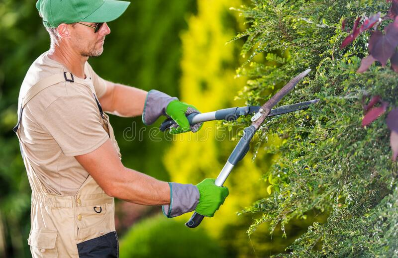 Gardener Trimming Bushes With Hedge Shears royalty free stock photo
