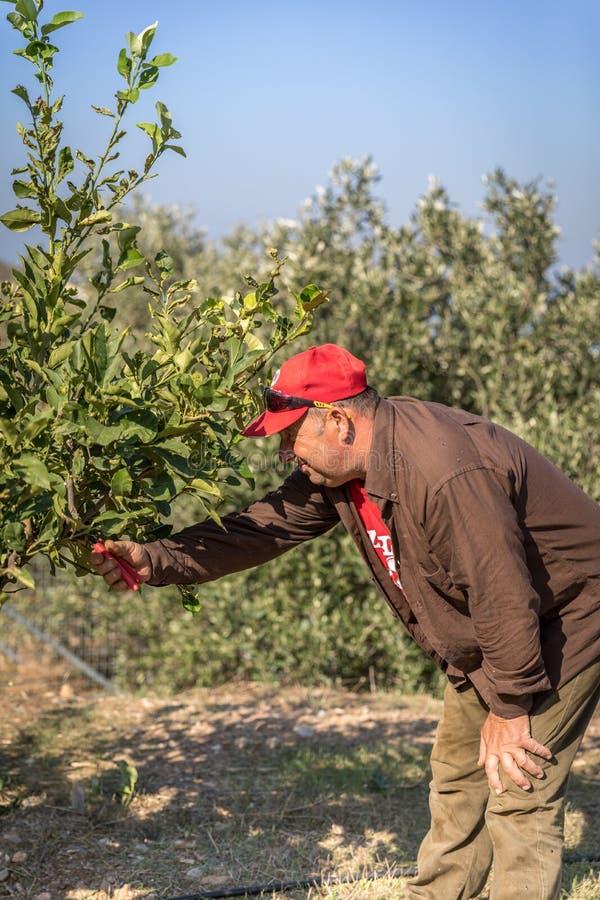 Gardener Trimming Lemon Tree. royalty free stock photos