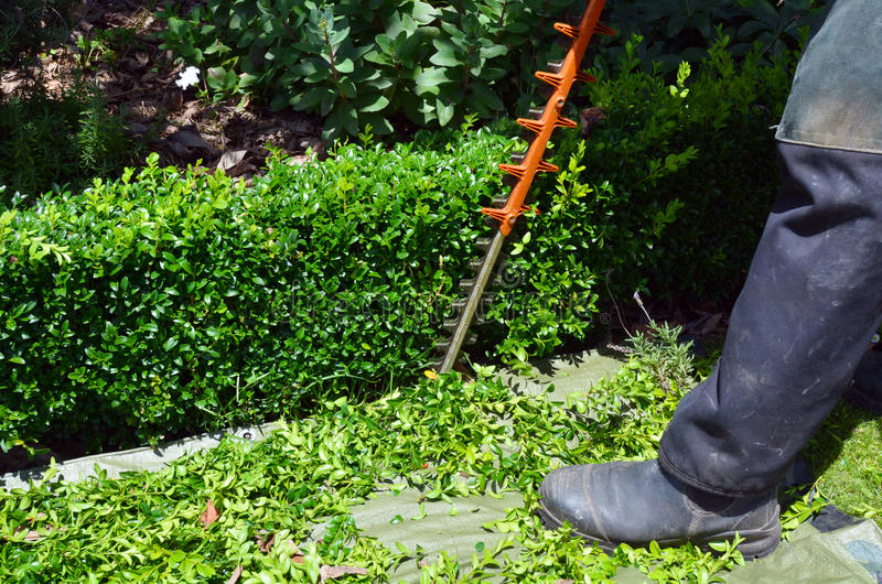 Gardener trimming plants in a garden with a trimmer.  stock photo