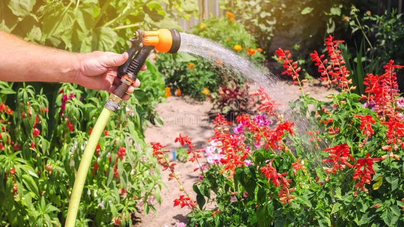 A gardener with a watering hose and a sprayer water the flowers in the garden on a summer sunny day. Sprinkler hose for irrigation. Plants. Gardening and flower stock photo