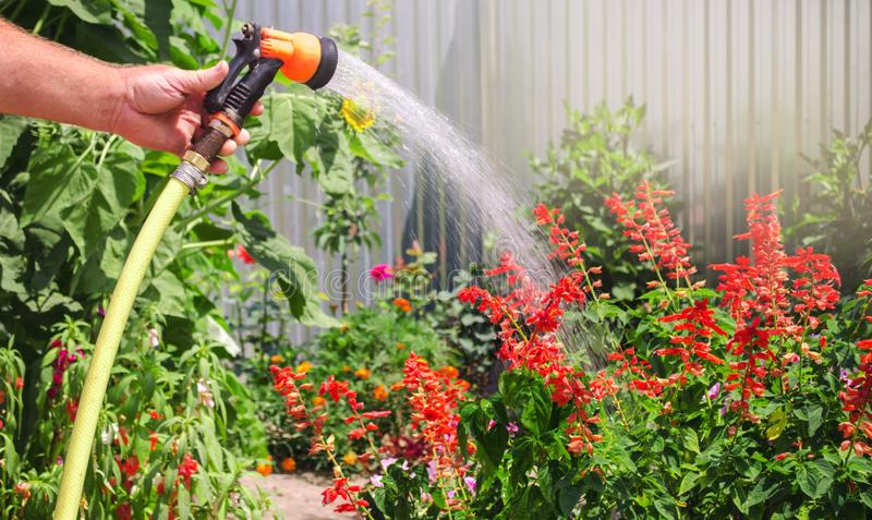 A gardener with a watering hose and a sprayer water the flowers in the garden on a summer sunny day. Sprinkler hose for irrigation. Plants. Gardening and flower royalty free stock photo