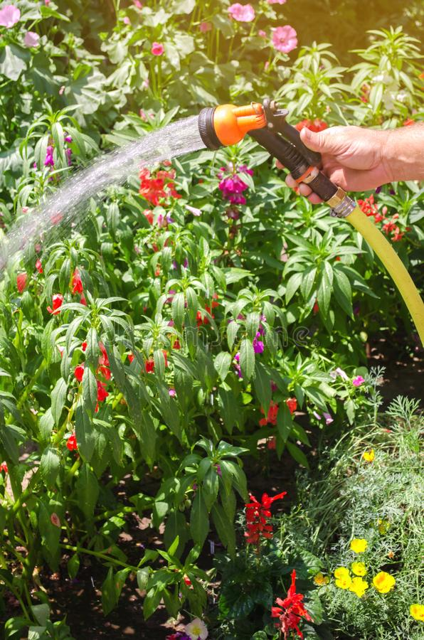 A gardener with a watering hose and a sprayer water the flowers in the garden on a summer sunny day. Sprinkler hose for irrigation. Plants. Gardening, growing royalty free stock photos