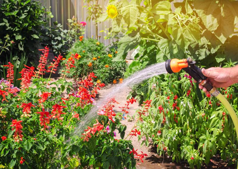 A gardener with a watering hose and a sprayer water the flowers in the garden on a summer sunny day. Sprinkler hose for irrigation stock photography