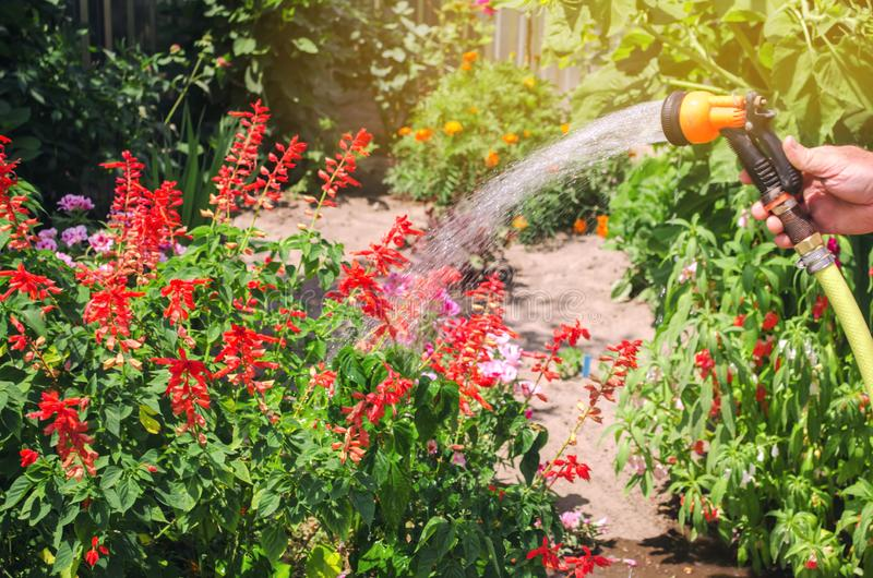 A gardener with a watering hose and a sprayer water the flowers in the garden on a summer sunny day. Sprinkler hose for irrigation. Plants. Gardening and flower stock photos