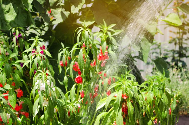 A gardener with a watering hose and a sprayer water the flowers in the garden on a summer sunny day. Sprinkler hose for irrigation. Plants. Gardening and flower royalty free stock photos