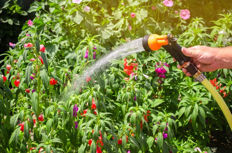 A gardener with a watering hose and a sprayer water the flowers in the garden on a summer sunny day. Sprinkler hose for irrigation stock images