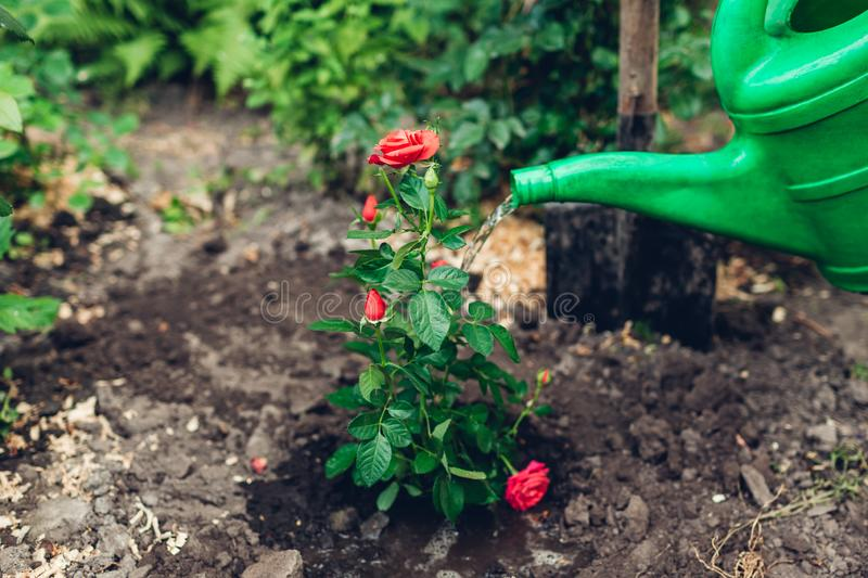 Gardener watering roses flowers with watering can after transplanting. Summer garden work stock photo
