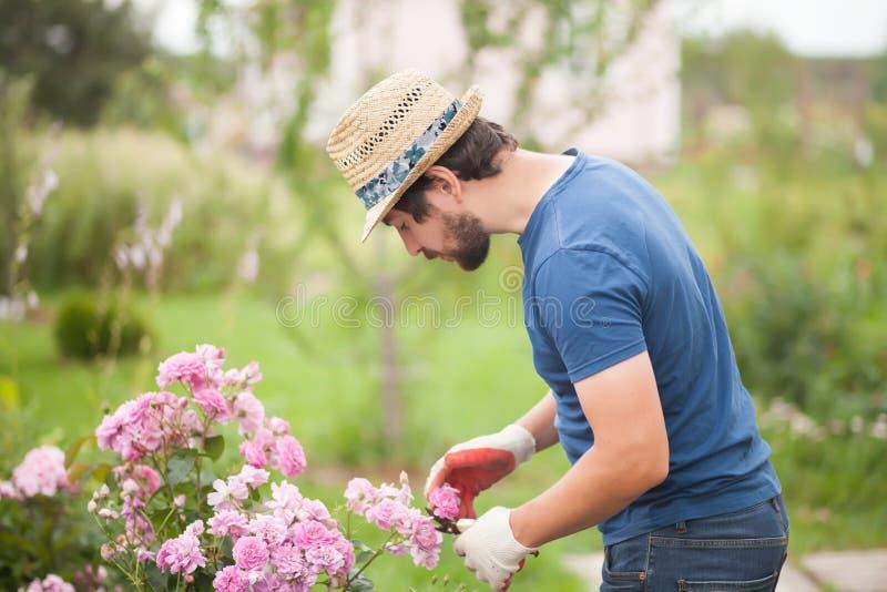 Gardener wearing gloves and straw hat pruning rose flowers. Man gardener cut or trim rose bush with secateur tool in the garden outdoors. Growing roses, pruner royalty free stock images