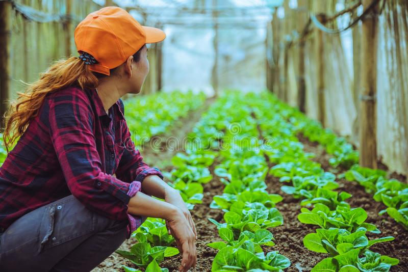 Gardener woman asian. Caring for Vegetable Lettuce In the garden at the nursery stock images