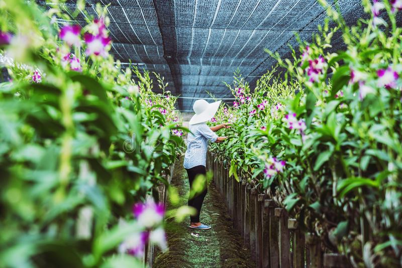 Gardener woman asian. Cutting orchid in an orchid garden. A white shirt girl standing in an orchid garden royalty free stock image