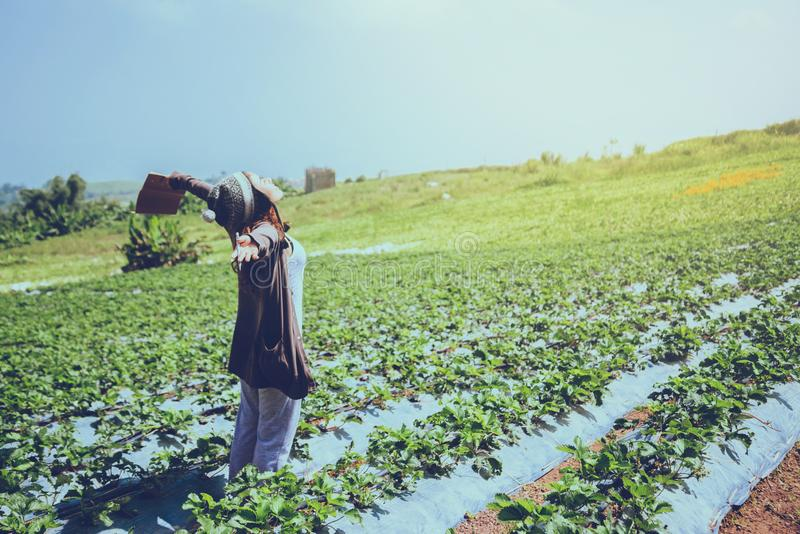 Gardener woman asian. education strawberry in the farm. On the Moutain. At summer stock photography