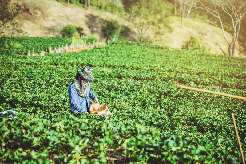 Gardener woman asian. Keep strawberry in the farm. On the Moutain.  At summer stock image
