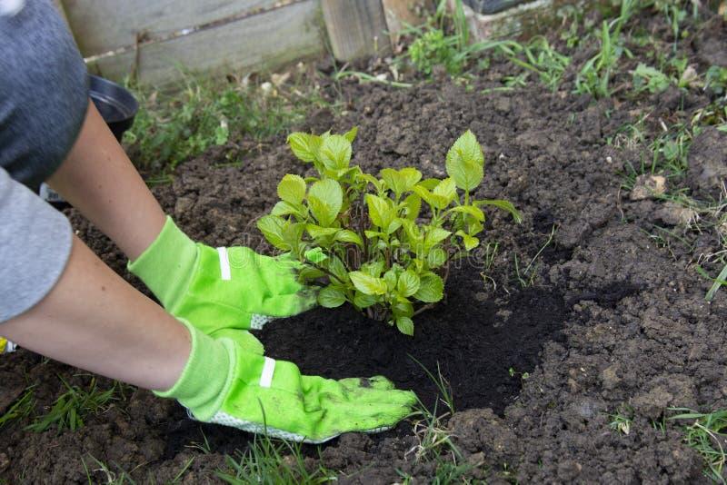 Gardener woman planting flower in the garden. Planting hydrangea flower in garden stock photos