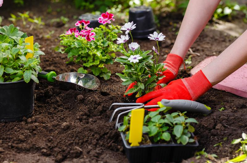 Gardener woman planting flowers in the garden at sunny morning royalty free stock photo