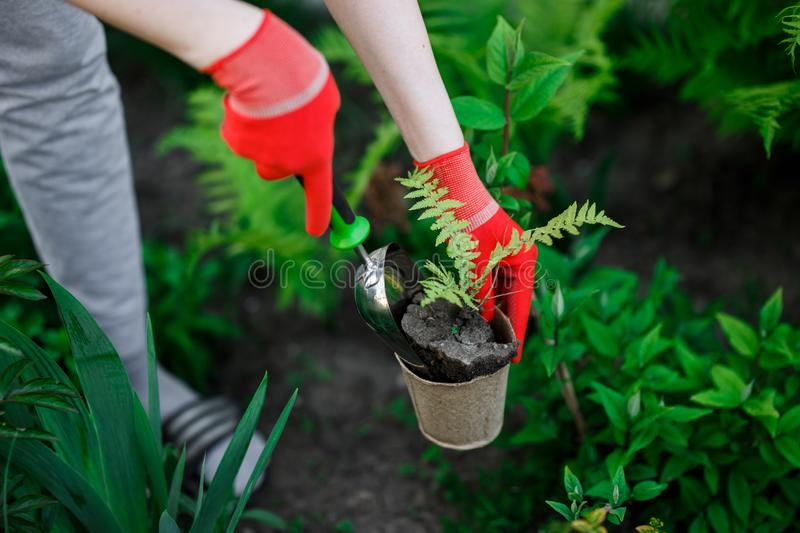 Gardener woman planting flowers in her garden, garden maintenance and hobby concept royalty free stock photos