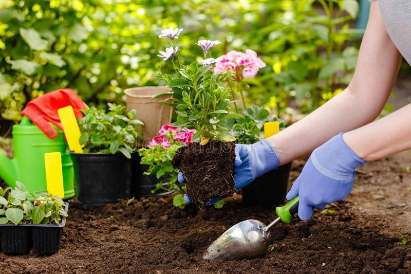Gardener woman planting flowers in the garden at sunny morning royalty free stock photography