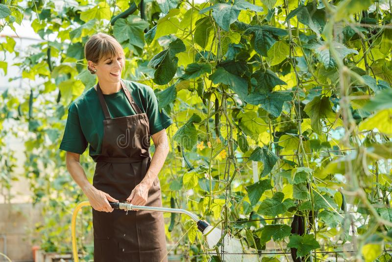 Gardener woman watering vegetables in the greenhouse royalty free stock photo