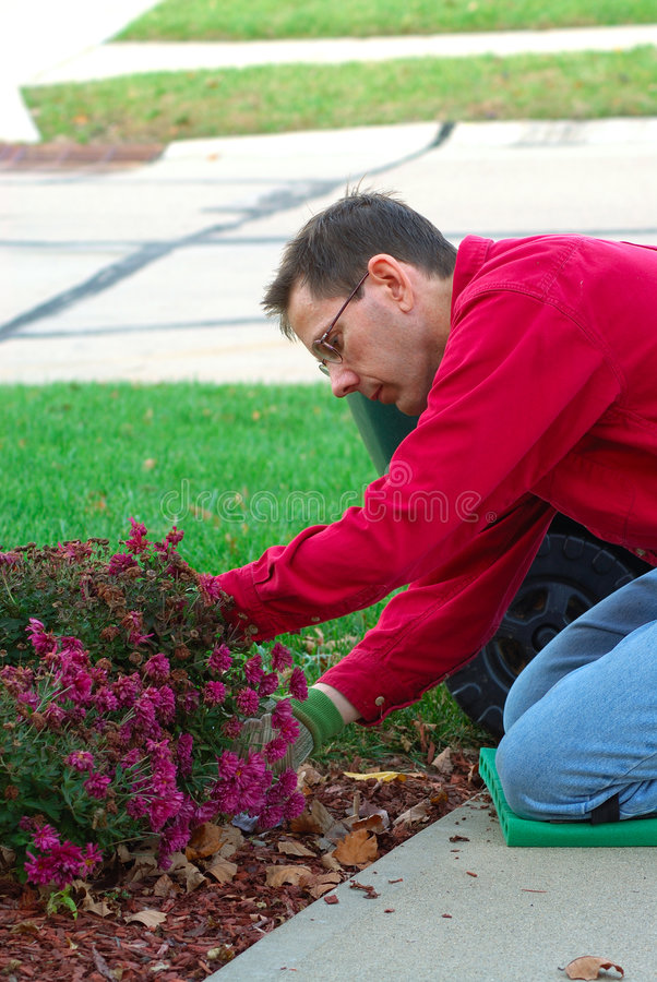 Gardener Working. A man is working in the landscaping garden, pruning the dead flowers stock image
