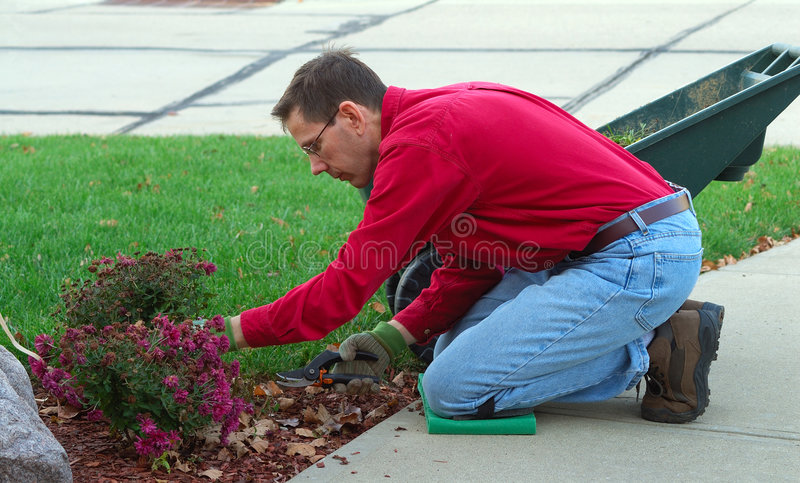 Gardener Working Man. A man is working in the landscaping garden, pruning the dead flowers. A flowering mum should remain full of color approximately 4 to 6 stock images