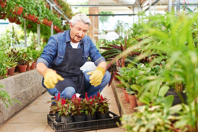 Gardener works in the garden center royalty free stock image