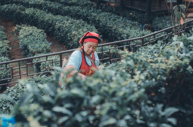 Gardeners collect tea leaves stock photography